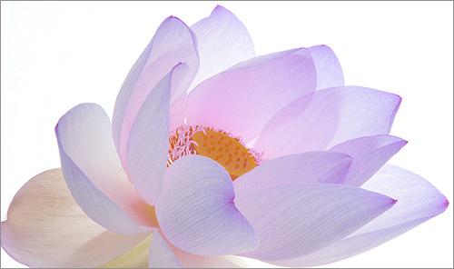 lotus bahman farzad
